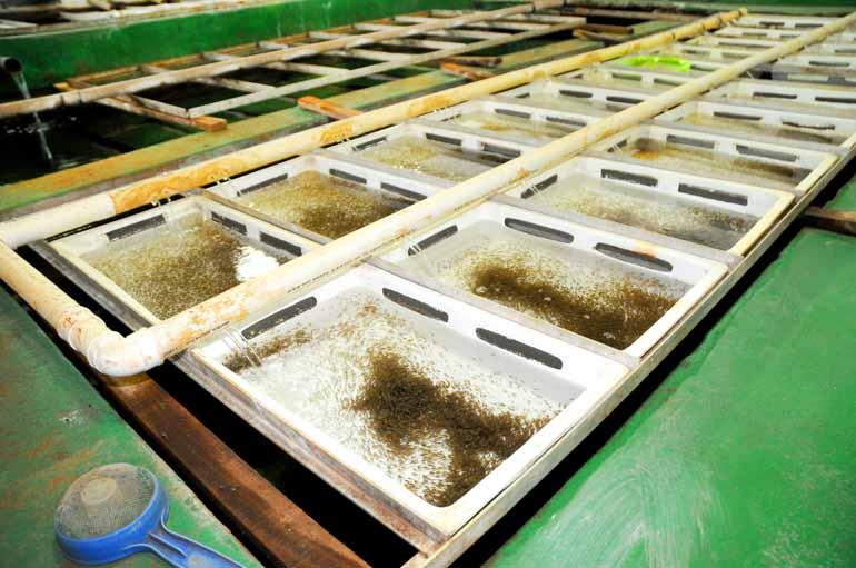 Empresa de Rolândia produziu 85 milhões de alevinos no ano passado
