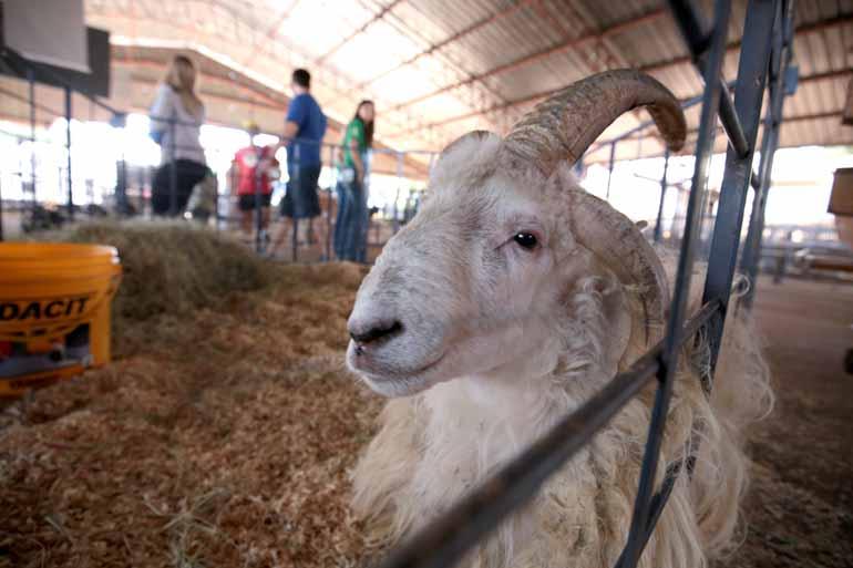 Fotos:Anderson Coelho - Com quatro chifres, carneiro da raça Crioula despertou a curiosidade do público