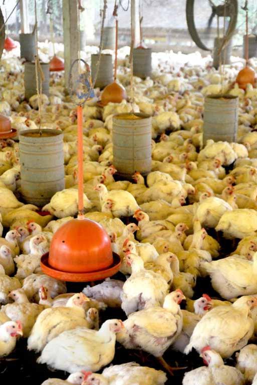 Arquivo FOLHA - Já na alimentação de aves o volume de APC utilizado é de 280 miligramas por quilo de carne