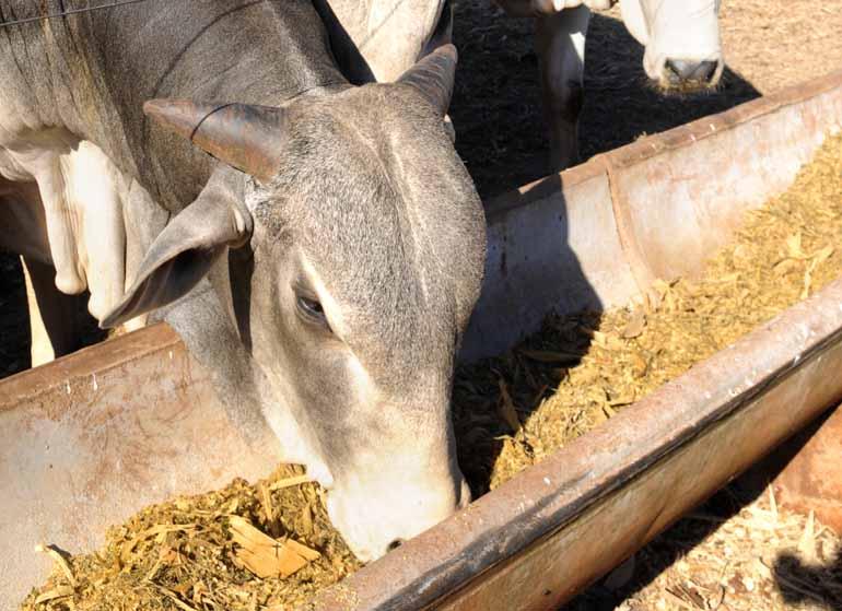 Sergio Ranalli/23-03-2017 - Adicionado à ração, o produto contém propriedades funcionais digestivas e equilibrador de flora do trato digestório, promovendo mais ganho de peso em gado de corte