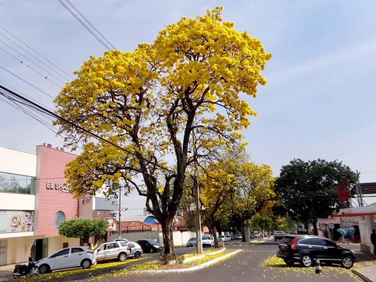 Ipês embelezam ruas de Santo Antônio da Platina