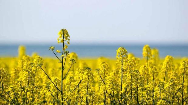 Shutterstock - Minor crops são culturas com falta ou número insuficiente de agroquímicos para manejo, controle de pragas e doenças, como a canola