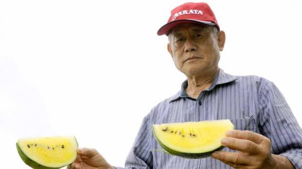 Saulo Ohara - O engenheiro agrônomo Carlos Eikiti Hirooka arrenda a área ao produtor que cultiva as melancias amarelas e já se prepara para iniciar seu próprio cultivo